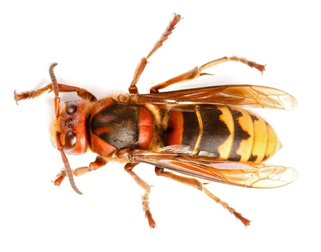 10238742 - european hornet vespa crabro on white