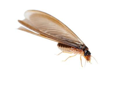 11624306 - termite white ant  isolated on white