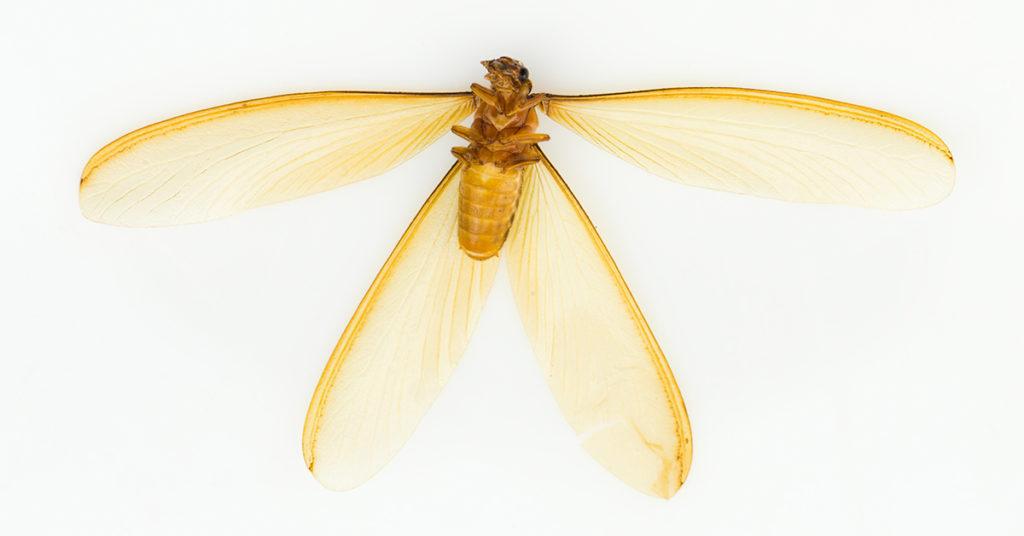 Swarmer Termite