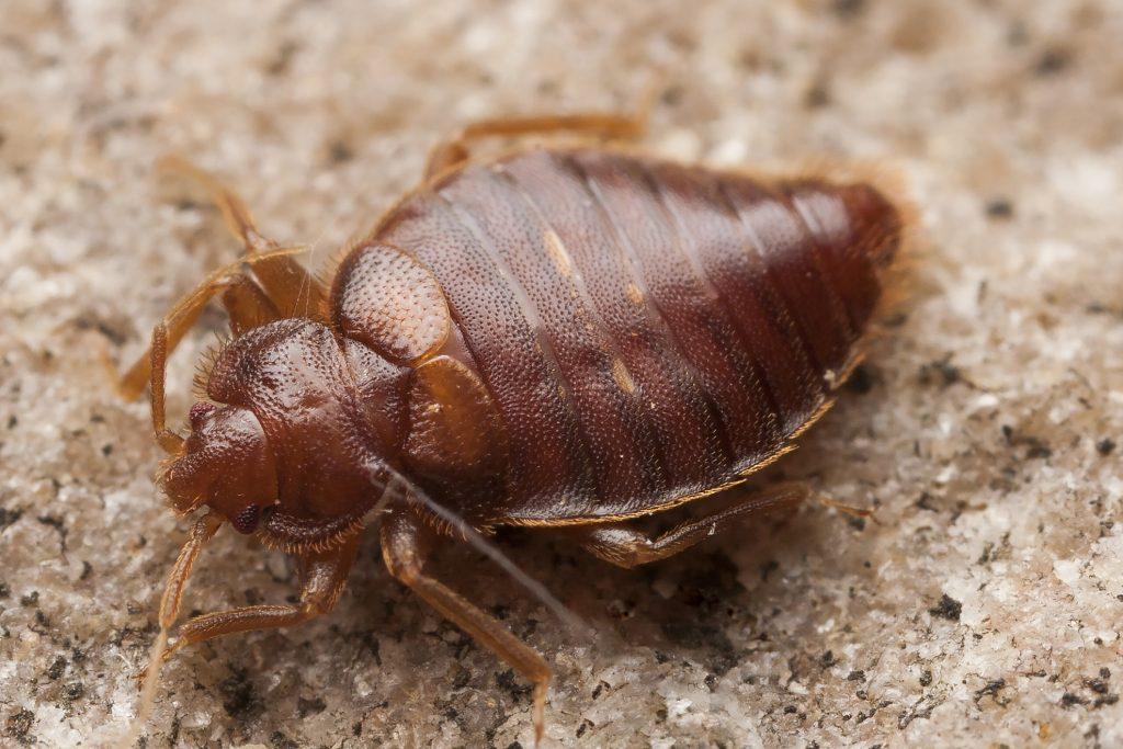 Richardson Pest Solutions Bedbug